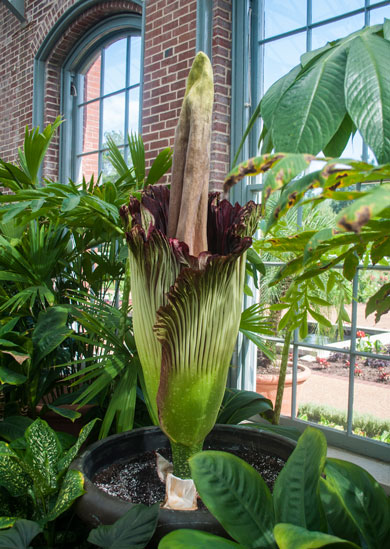 Titan Arum in Linnean House
