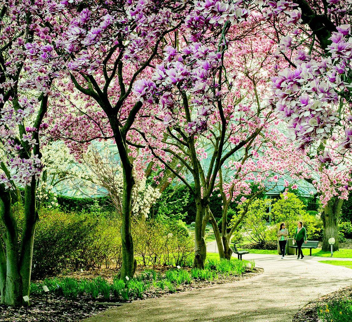 Magnolia walk in bloom